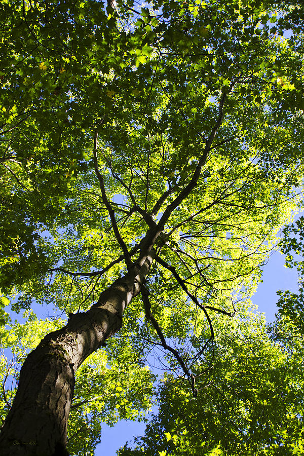 Summer Tree Canopy Landscape Photograph  - Summer Tree Canopy Landscape Fine Art Print