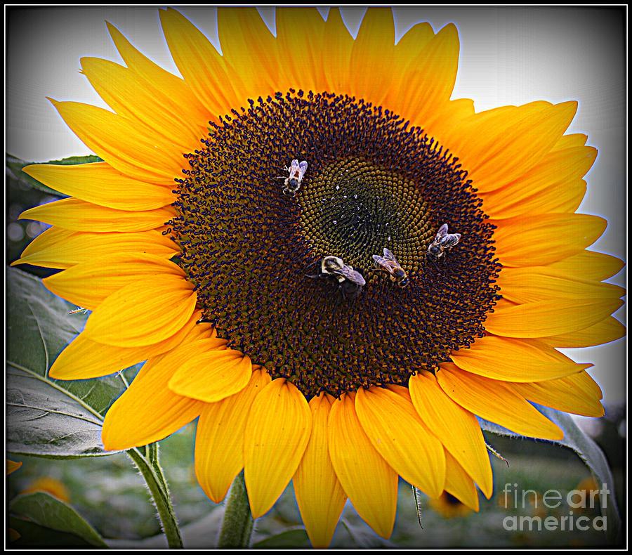 Summertime Beauty - Sunflower Photograph