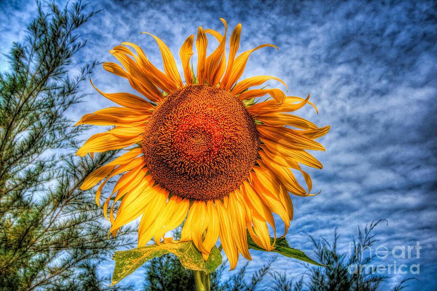 Sun Flower Photograph