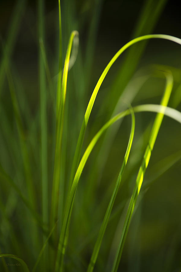 Sun-kissed Grass Photograph  - Sun-kissed Grass Fine Art Print