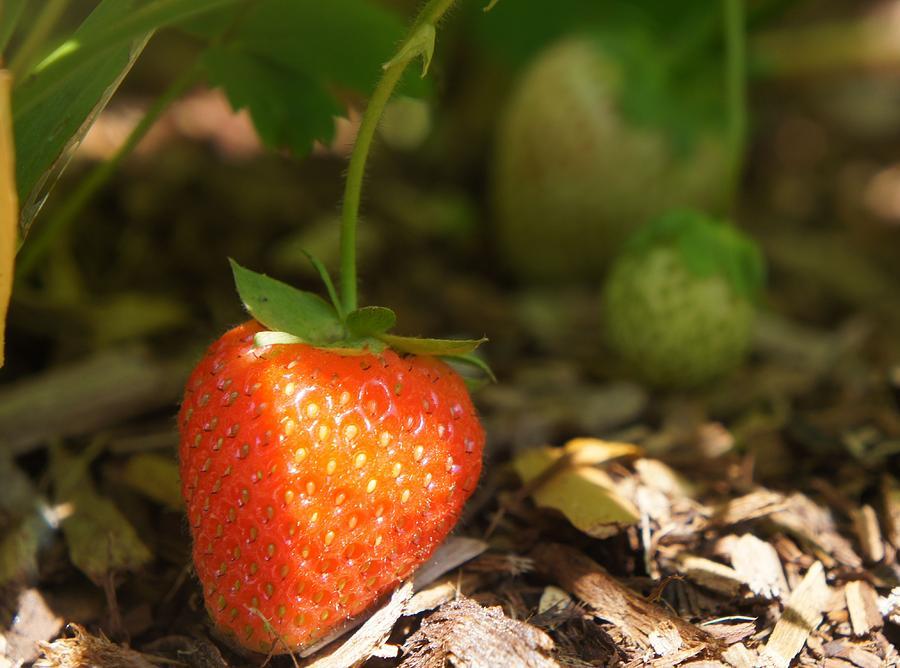 Sun Kissed Strawberry Photograph
