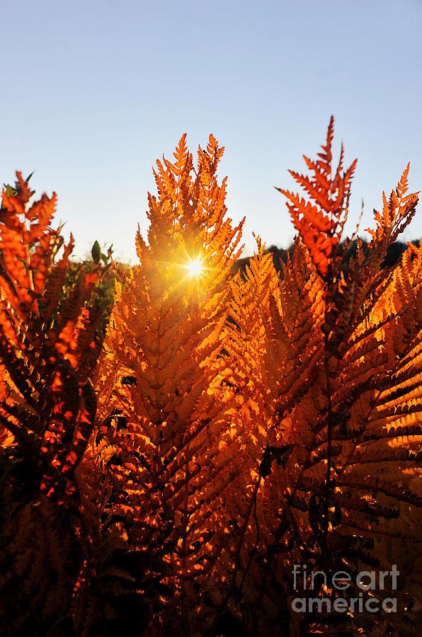 Sun Shining Through Fern Photograph