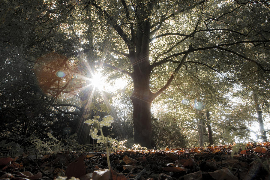 Sun Trough Trees In Forest Photograph