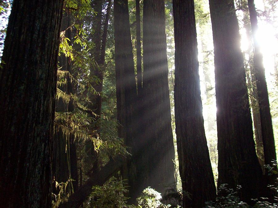 Sunbeams In The Redwood Forest Photograph