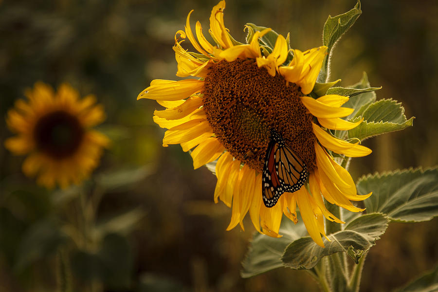Sunflower And Butterfly Photograph