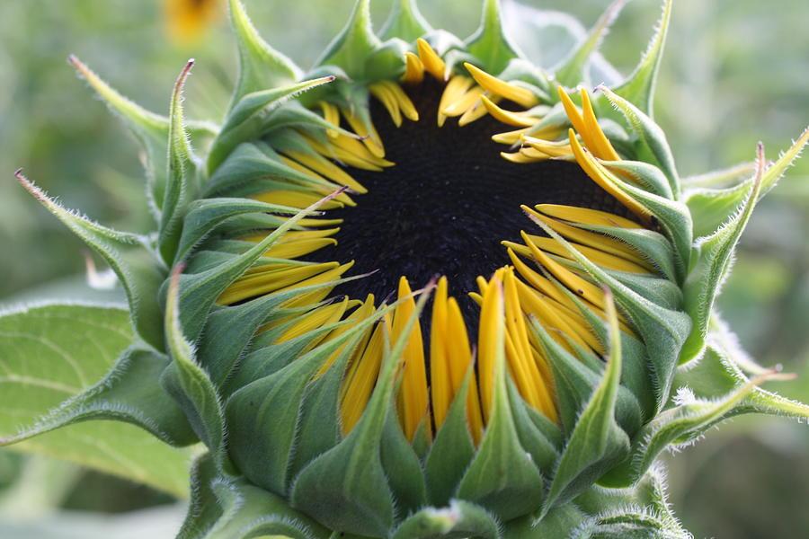 File:Flower bud of Sunflower - Helianthus.JPG - Wikimedia ...  |Sunflower Bud