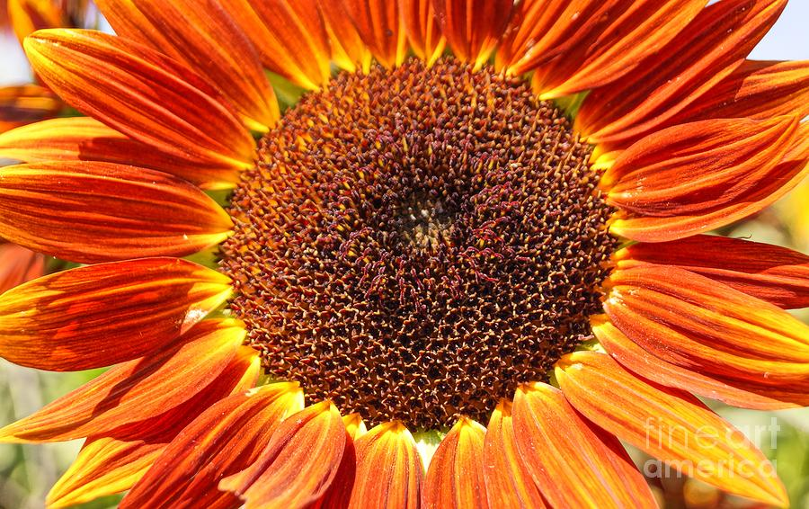 Sunflower Burst Photograph  - Sunflower Burst Fine Art Print