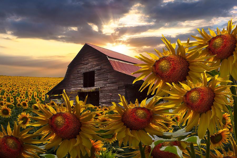 Sunflower Dance Photograph