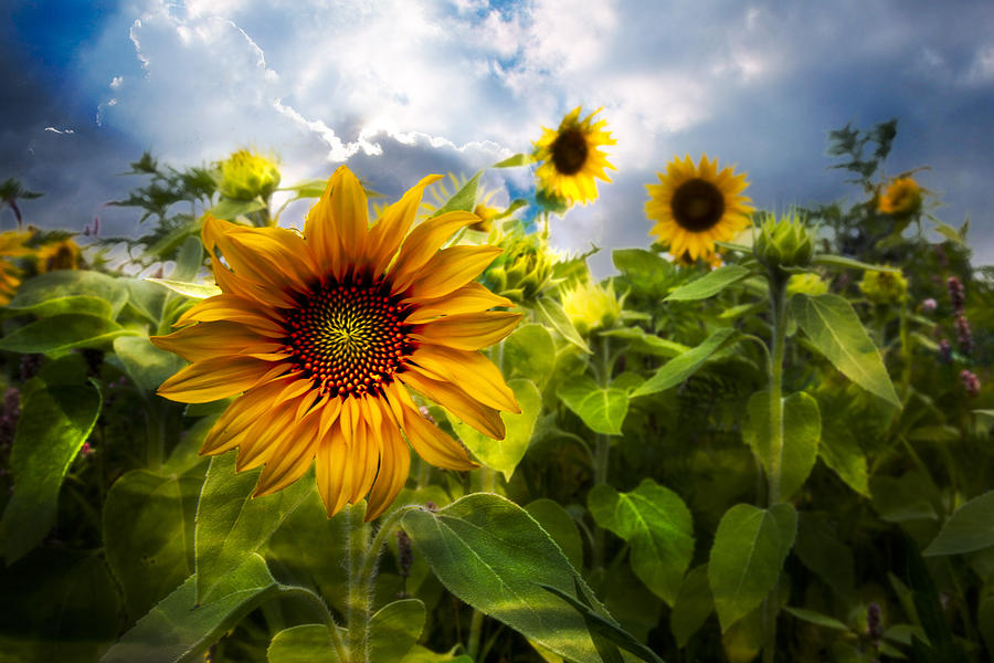 Sunflower Dream Photograph
