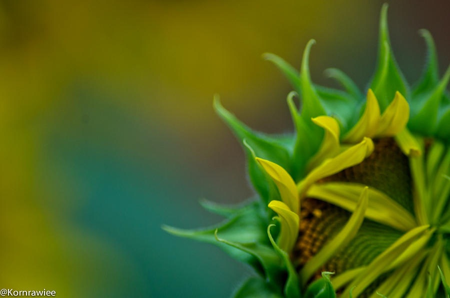 Sunflower In Dream Photograph