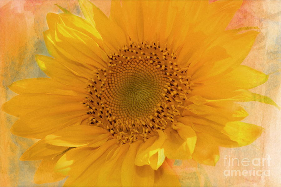Sunflower Kisses Mixed Media  - Sunflower Kisses Fine Art Print