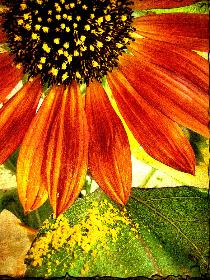 Sunflower Memories Photograph