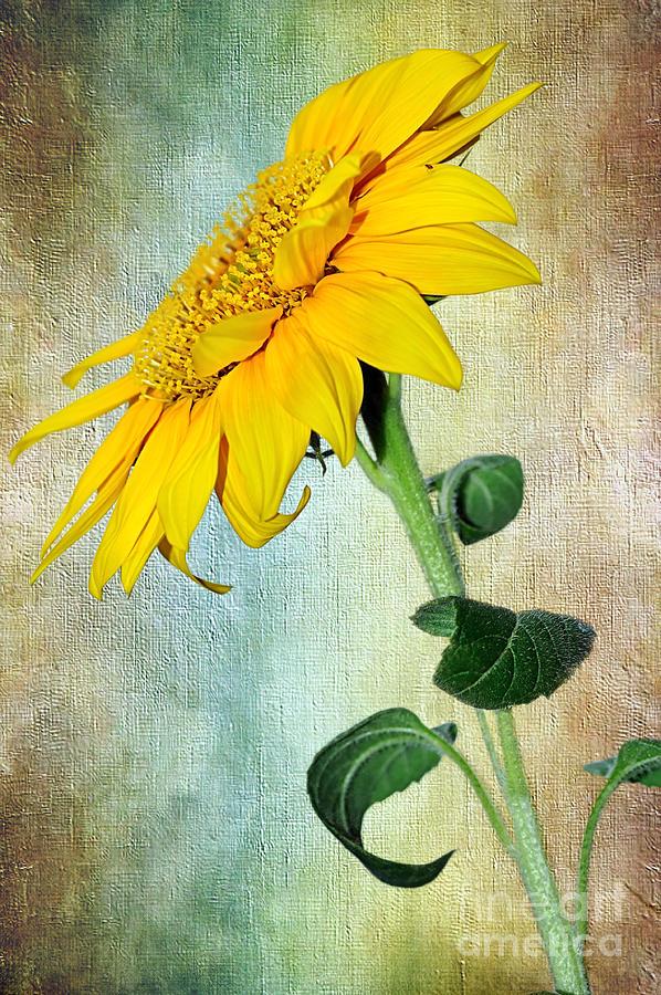 Sunflower On Textured Canvas Photograph
