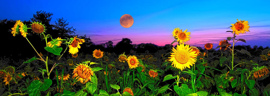 Sunflower Patch And Moon  Photograph