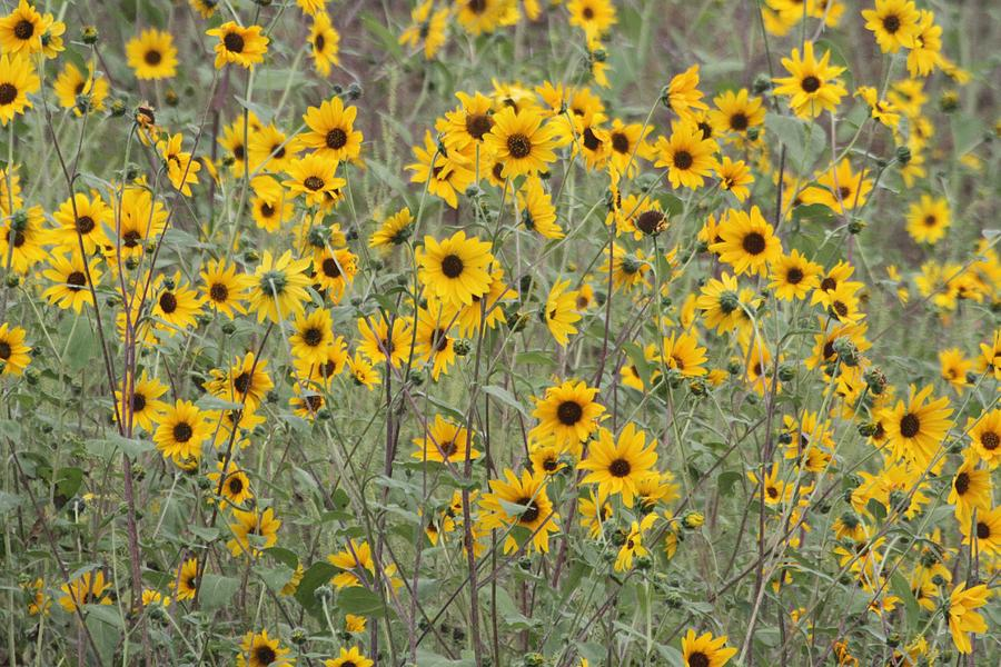 Sunflower Patch On The Hill Photograph