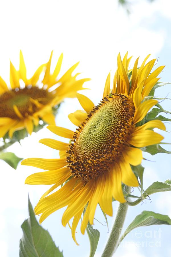 Sunflower Perspective Photograph  - Sunflower Perspective Fine Art Print