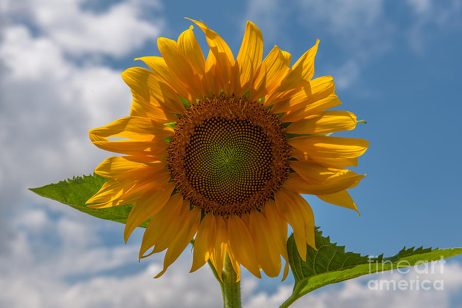 Sunflower Power Photograph