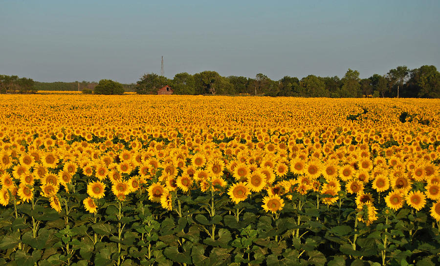 Sunflower Sea Photograph