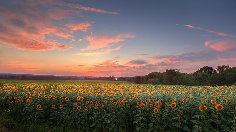 Sunflower Sunset Photograph  - Sunflower Sunset Fine Art Print