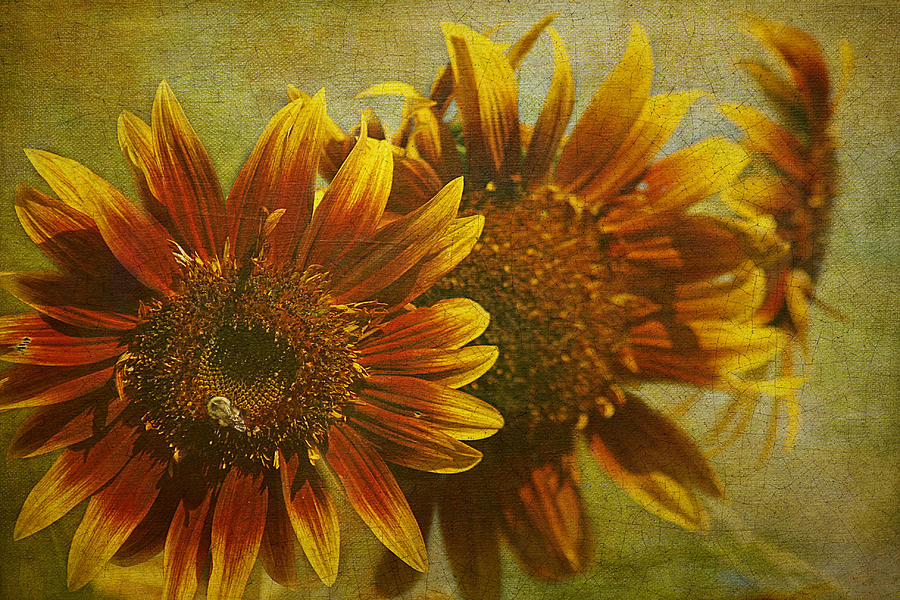 Sunflower Trio Photograph  - Sunflower Trio Fine Art Print