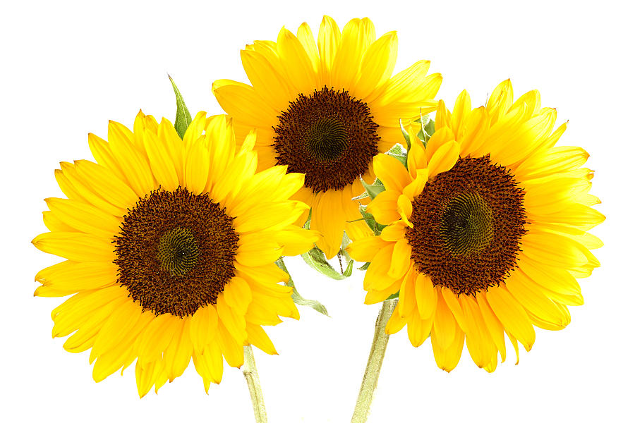 Plant Photograph - Sunflowers by Claudio Bacinello
