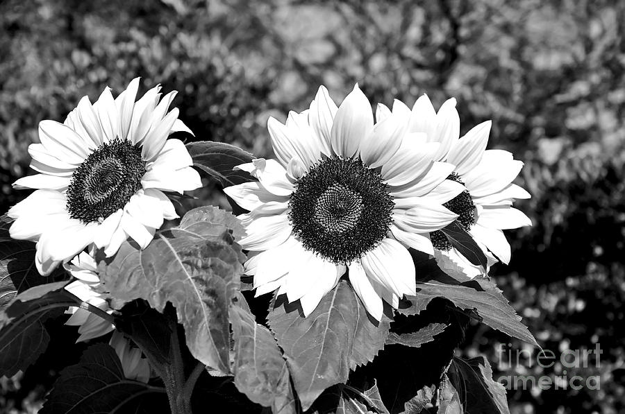 Sunflowers In Black And White Photograph