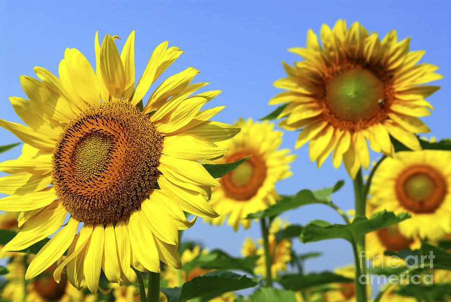 Sunflowers In Field Photograph