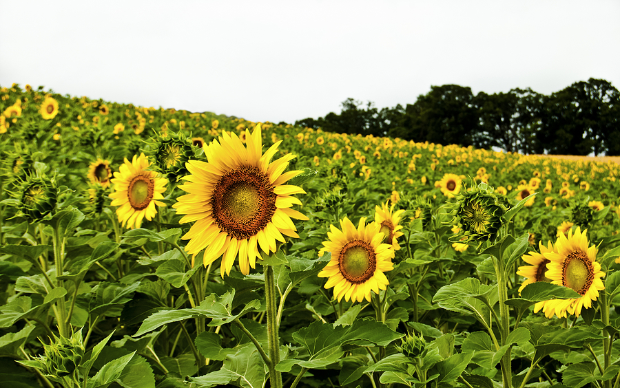 Wisconsin Photograph - Sunflowers On A Hill by Christi Kraft