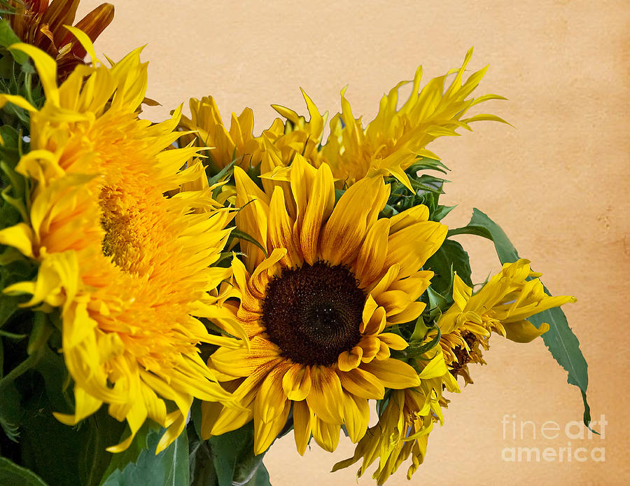 Sunflowers On Old Paper Background  Photograph  - Sunflowers On Old Paper Background  Fine Art Print