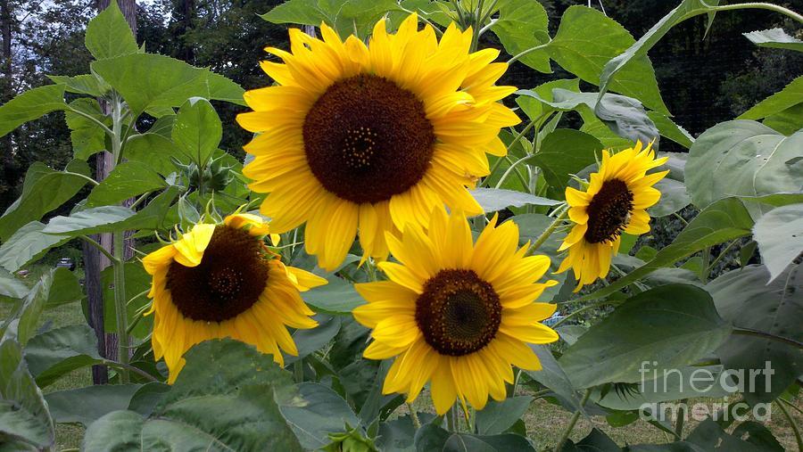 Sunflowers Photograph