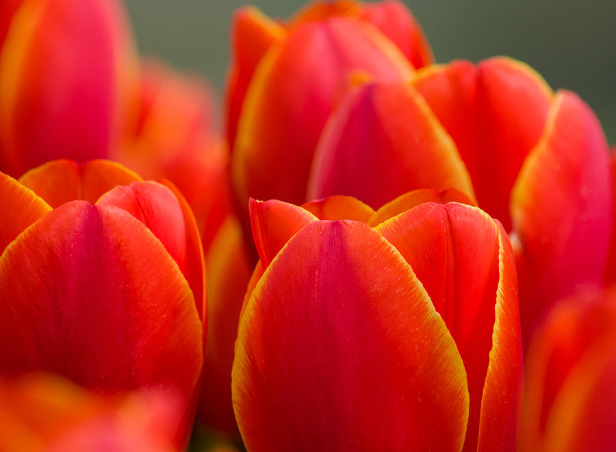 Sunkissed Tulips Photograph
