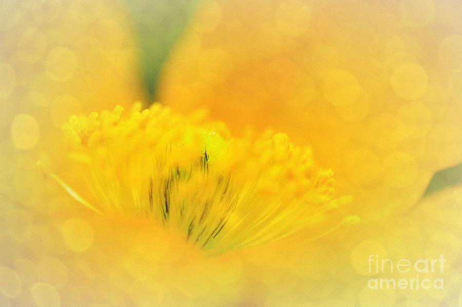 Sunlight On Poppy Abstract Photograph