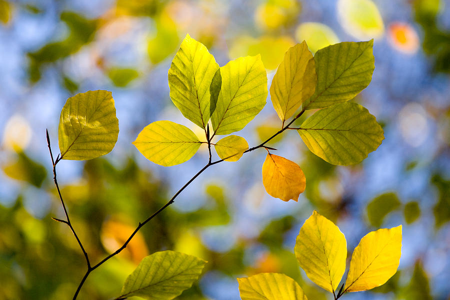 Sunlit Autumn Leaves Photograph