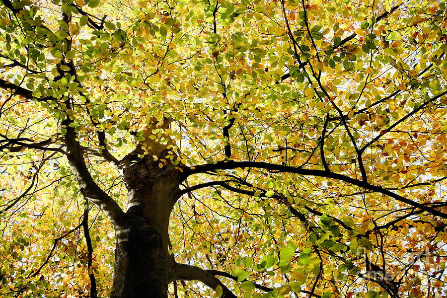 Sunlit Autumn Tree Photograph