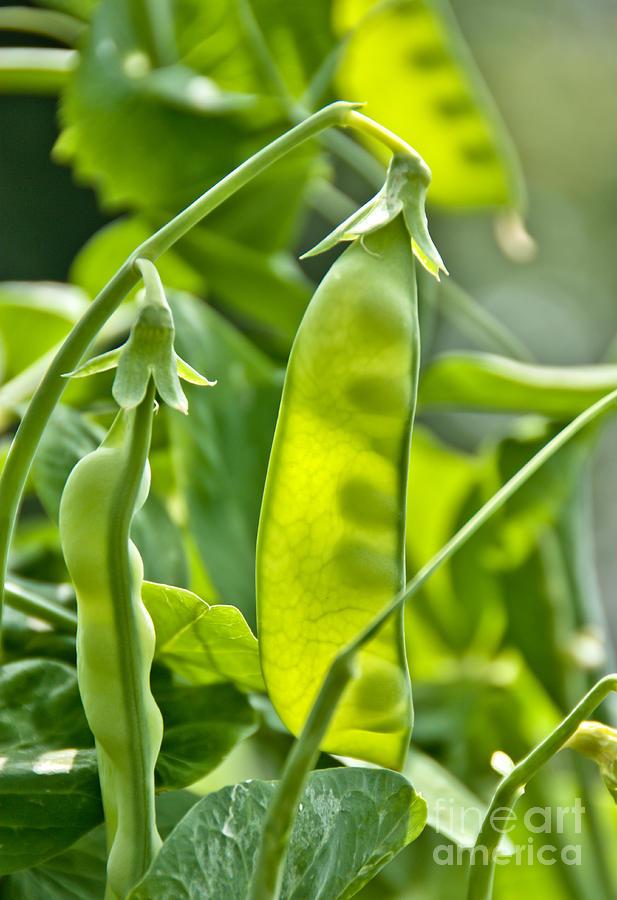 Peas Photograph - Sunlit Bounty by Cheryl Baxter