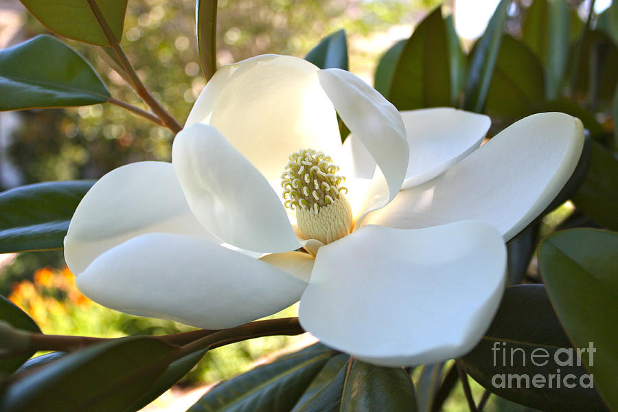 Sunlit Southern Magnolia Photograph