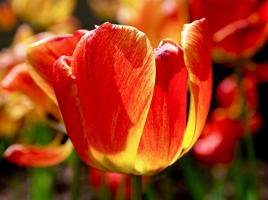 Sunlit Tulips Photograph