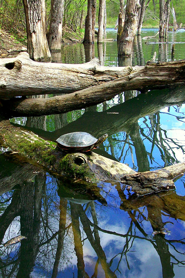 Turtle Photograph - Sunning  by Jamie Seul