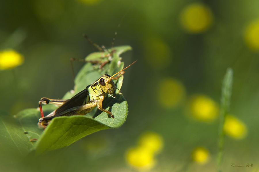 Sunny Green Grasshopper Photograph