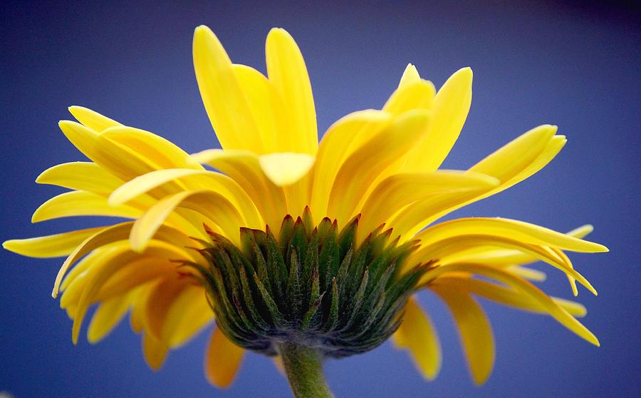 Gerbera Daisy Photograph - Sunny Love by Melanie Moraga