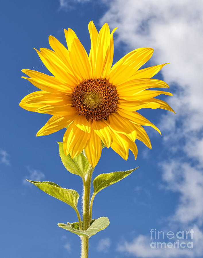 Sunny Sunflower Photograph