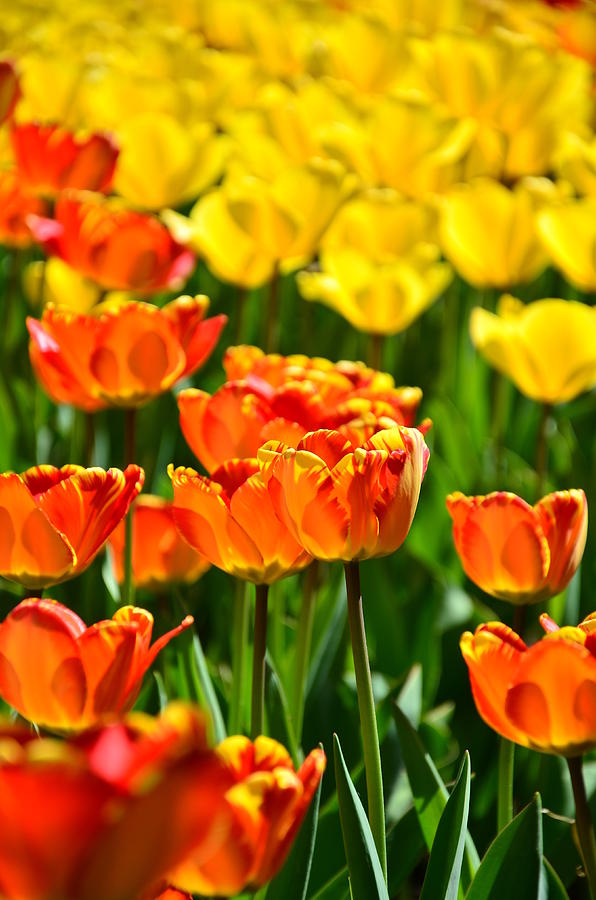 Tulips Photograph - Sunny Tulips by Gynt