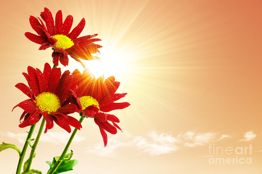 Sunrays Flowers Photograph  - Sunrays Flowers Fine Art Print