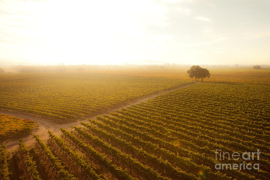 Sunrise Over The Vineyard Photograph  - Sunrise Over The Vineyard Fine Art Print