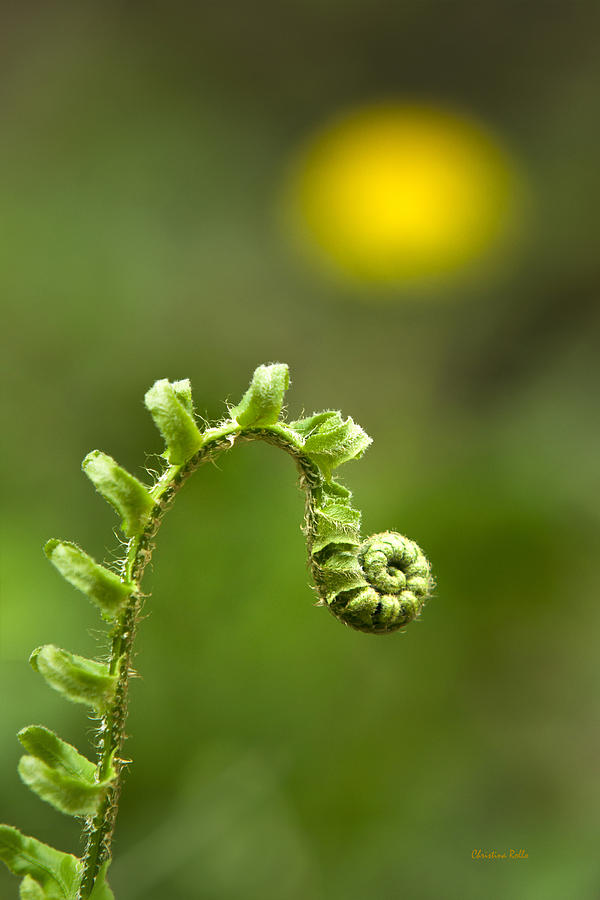 Sunrise Photograph - Sunrise Spiral Fern by Christina Rollo