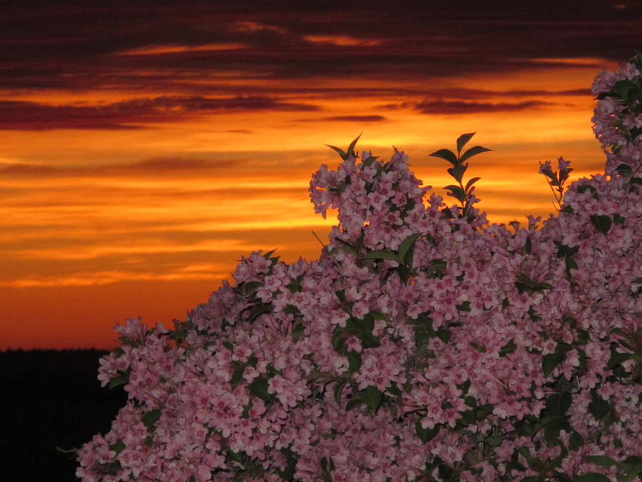 Sunset Blooms Photograph