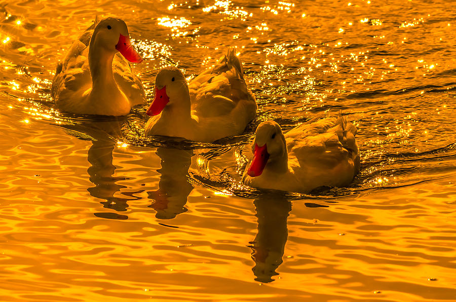 Sunset Ducks Photograph  - Sunset Ducks Fine Art Print