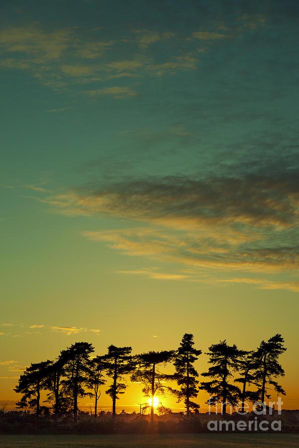Sunset Pines Photograph