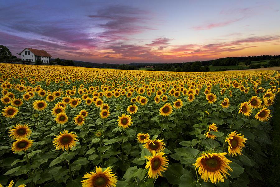 Sunset Sunflowers Photograph