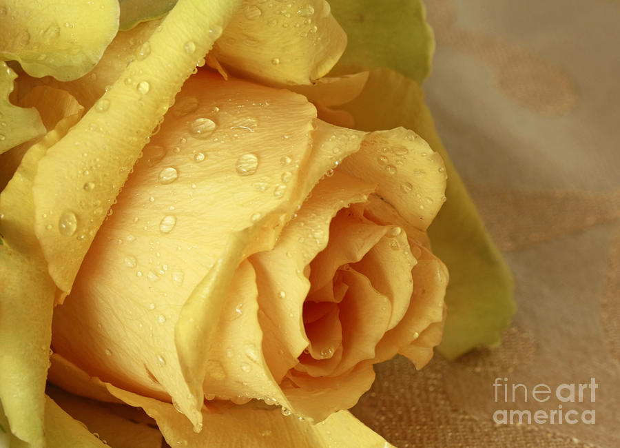 Sunshine Delight Yellow Rose Photograph  - Sunshine Delight Yellow Rose Fine Art Print